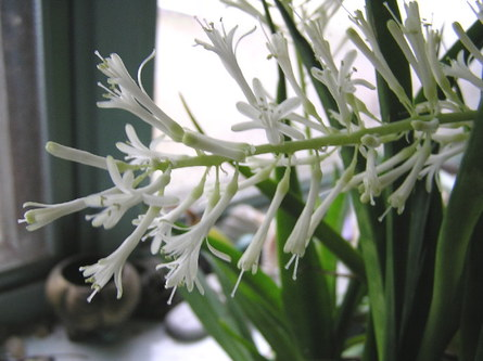 http://sparklinglotusland.typepad.com/sparkling_lotusland/images/rssanseveriaflowers1129.jpg